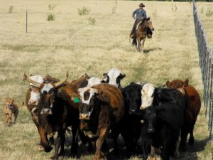 Bundy Cattle 2