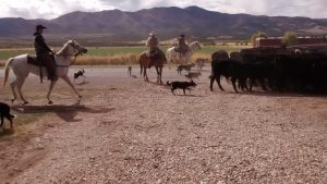 Kanosh Cowboys Cows Dogs 1