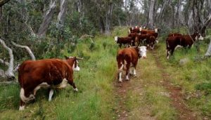 Herefords Grazing wide 2