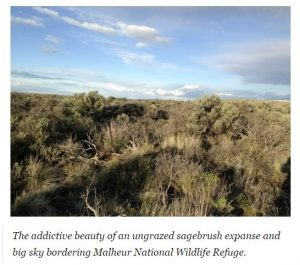 Ungrazed Sagebrush 1