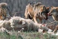 wolf pack eats kill