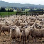new-zealand-sheep-1
