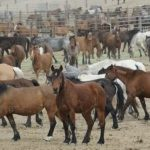 wildhorse-feedlot-1