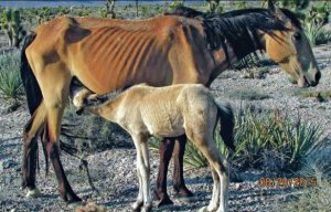 skinny-wild-horse-mare-foal-1