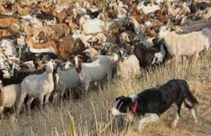 Border Collie Goats 2