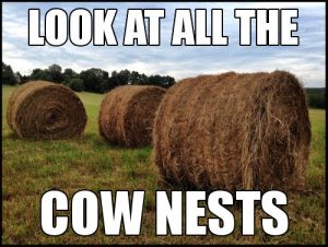 Cow Nests 1