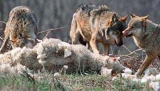 wolf pack eats kill