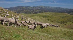 sheep grazing left