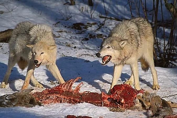 Predator Newspeak: WLA issues guide on how to make dangerous predators seem not-so-dangerous