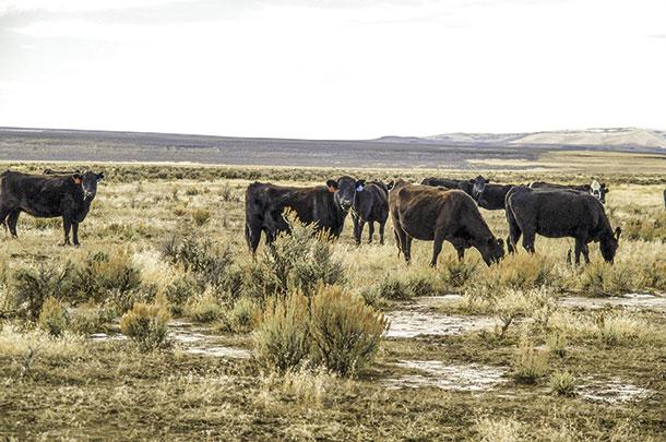 cattle graze cheatgrass
